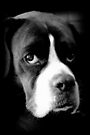 Arwen - Female Boxer Dog - Boxer Dogs Series by Evita