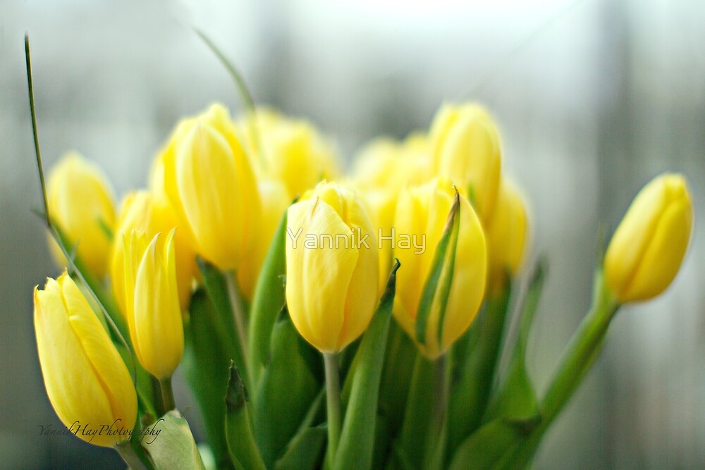 Buttery Yellow Tulips - Earth Day by Yannik Hay