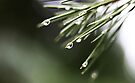 Rain And Pine Trees by Evita