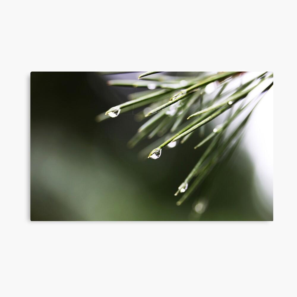 Regen und Pinien Leinwanddruck