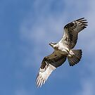 Osprey 2017-3 by Thomas Young