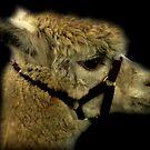 Profil - Alpaka von Evita