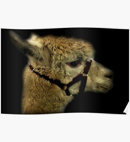Profil - Alpaka Poster