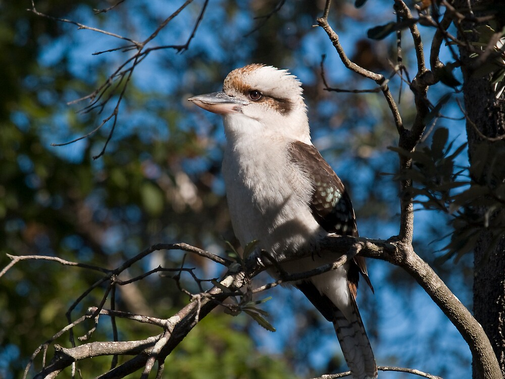 Laughing Kookaburra  by DianneF