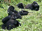 Mountain Gorillas by Steve Bulford