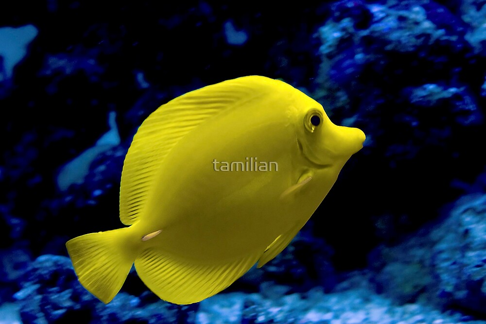 Yellow Tang by tamilian