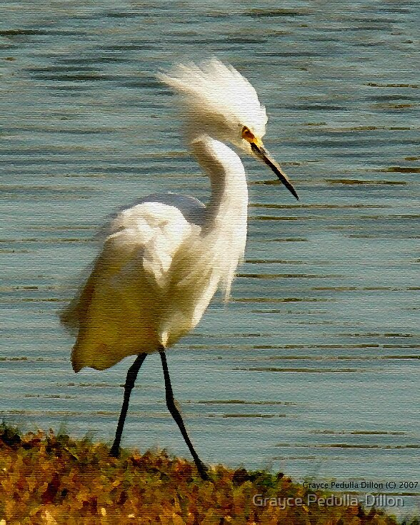Puffed Up Egret by Grayce Pedulla-Dillon