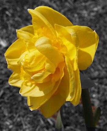yellow rose by lindseychase06