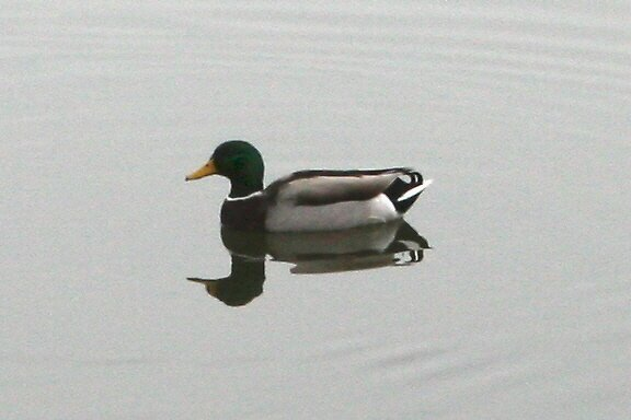 Mallard by ahedges