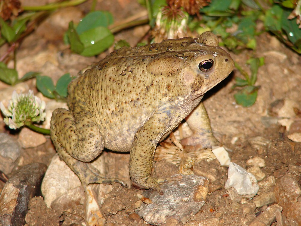 Night Toad by inventor