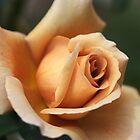 Beautiful Rose in Orange and Coffee  by Joy Watson