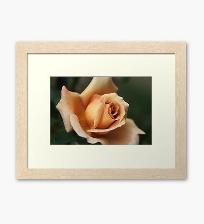Beautiful Rose in Orange and Coffee  Framed Print