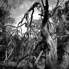 Scary Tree- Charleston Conservation Park by Ben Loveday