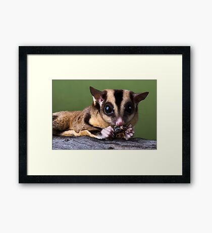 Sugar Glider Framed Print