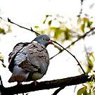 Common wood pigeon by MarekM