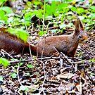 Red squirrel by MarekM