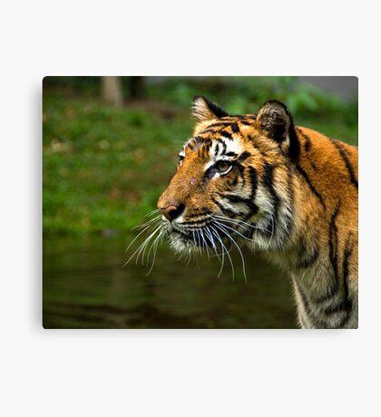 Sumatran Tiger Canvas Print
