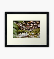 A Scavenging House Mouse on Mount Taranaki (Mus musculus) Framed Print
