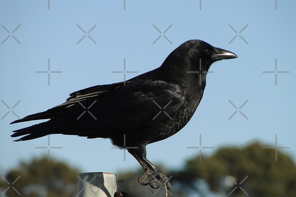 San Francisco Crow by Barrie Woodward