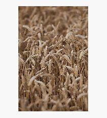 crops Photographic Print