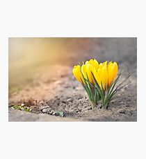 Yellow Crocus Flowers Photographic Print