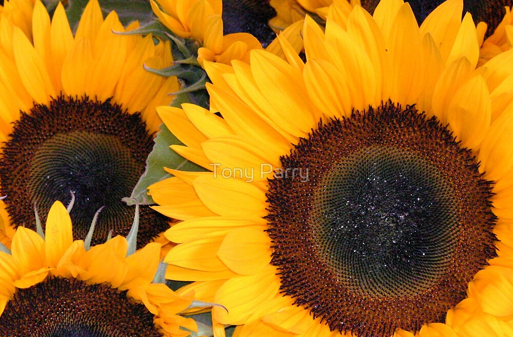 SUN FLOWERS by Tony Parry