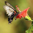 Lows Swallowtail by Grant Glendinning