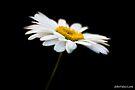Daisy 7 by John Velocci