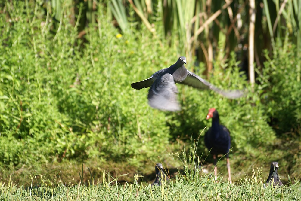 Pigeons and Pukeko by avionz