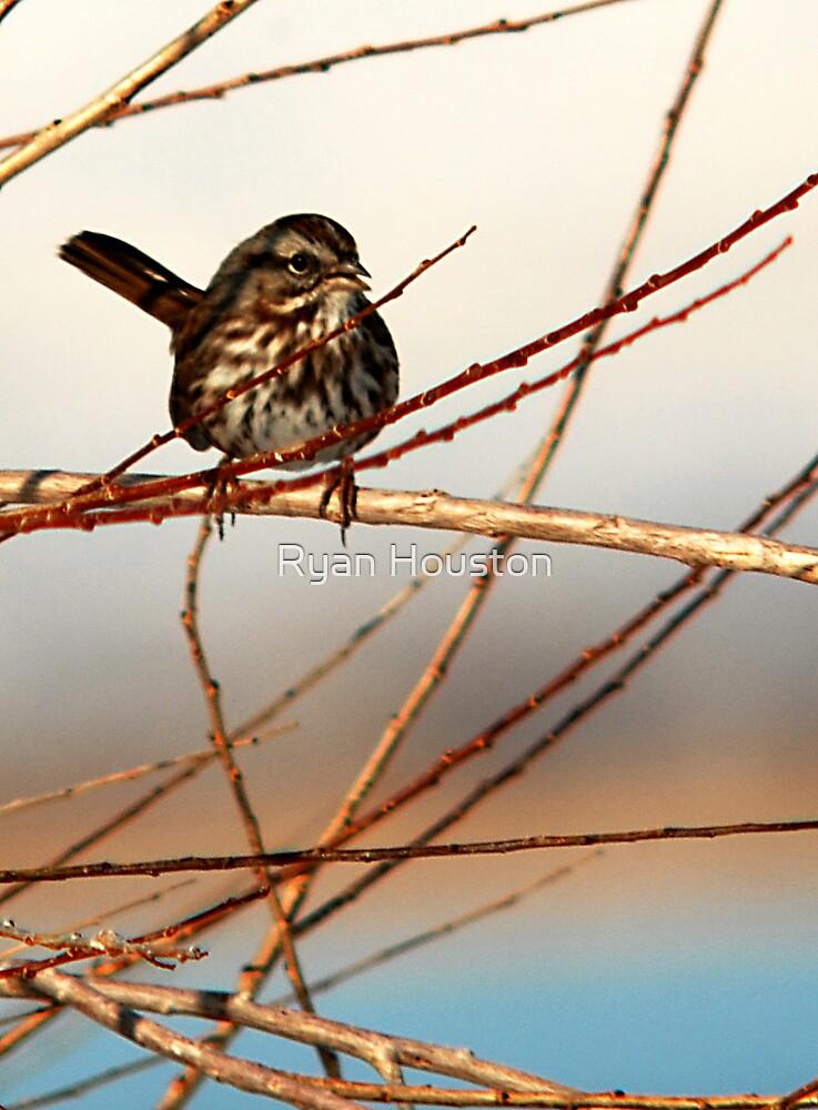 Song Sparrow at Marina by Ryan Houston