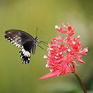 Citrus Swallowtail by Grant Glendinning