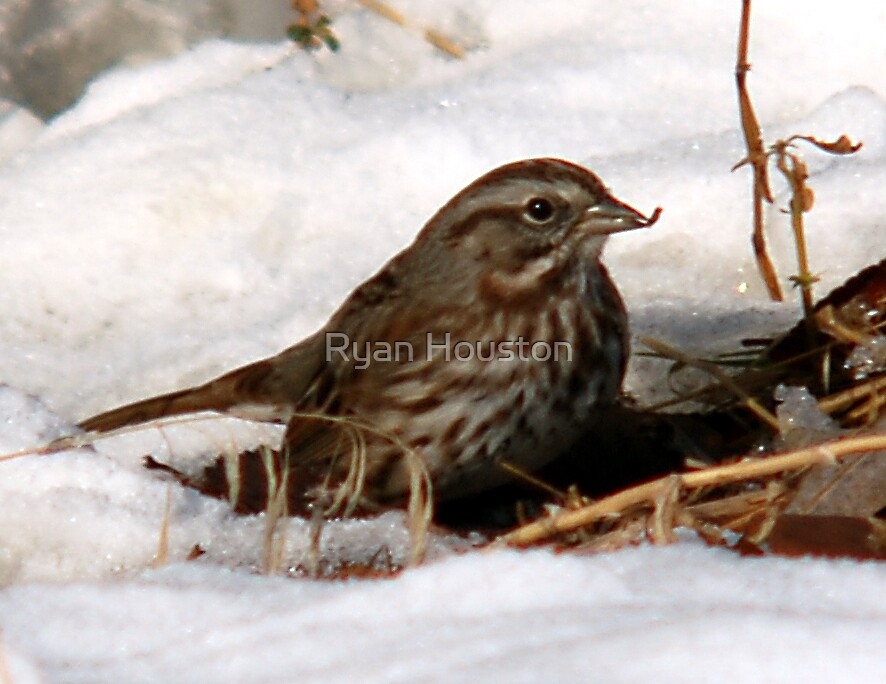 Song Sparrow & Seed by Ryan Houston