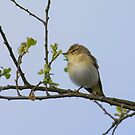 Willow Warbler  by M.S. Photography/Art