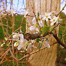 Hawthorn Blossom......................Ireland by Fara