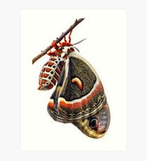 Cecropia Moth Close Up Art Print