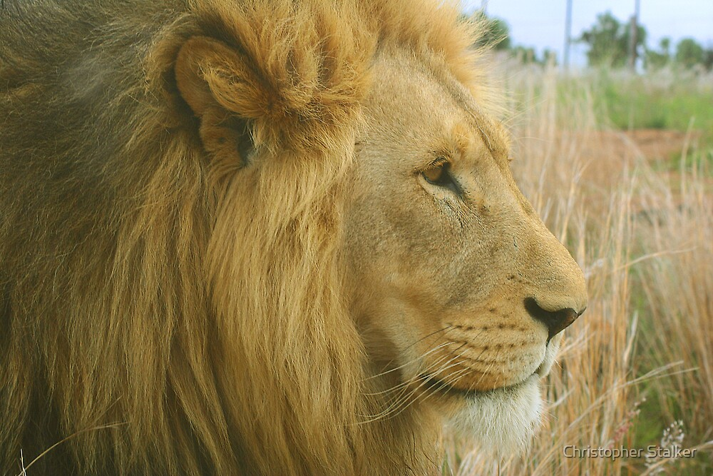 male lion by Christopher Stalker