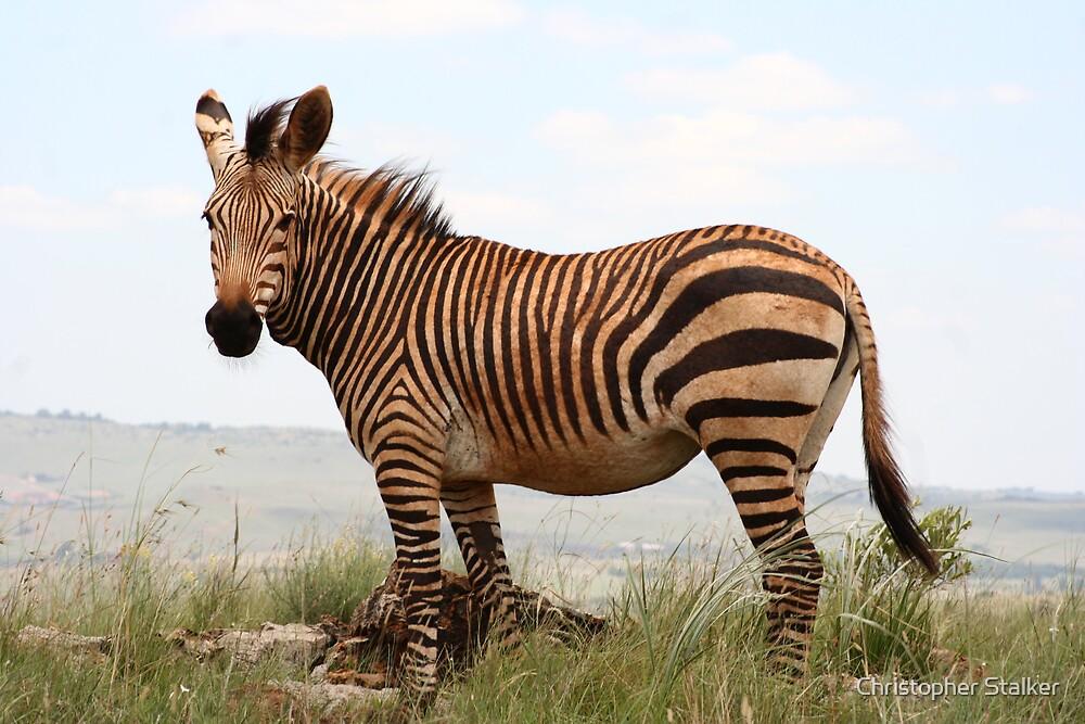 mountain zebra by Christopher Stalker