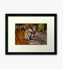 Siberian Tiger roar Framed Print
