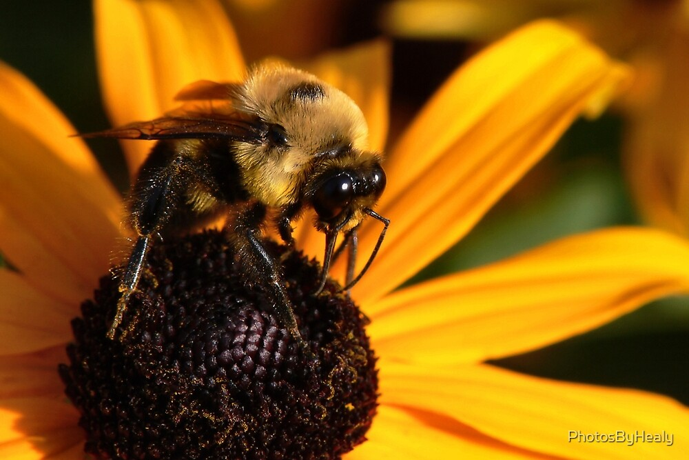 The Bee & the Brown-eyed Susan  by PhotosByHealy