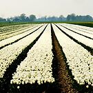 And still more tulips by jchanders