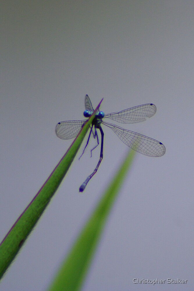 dragonfly by Christopher Stalker