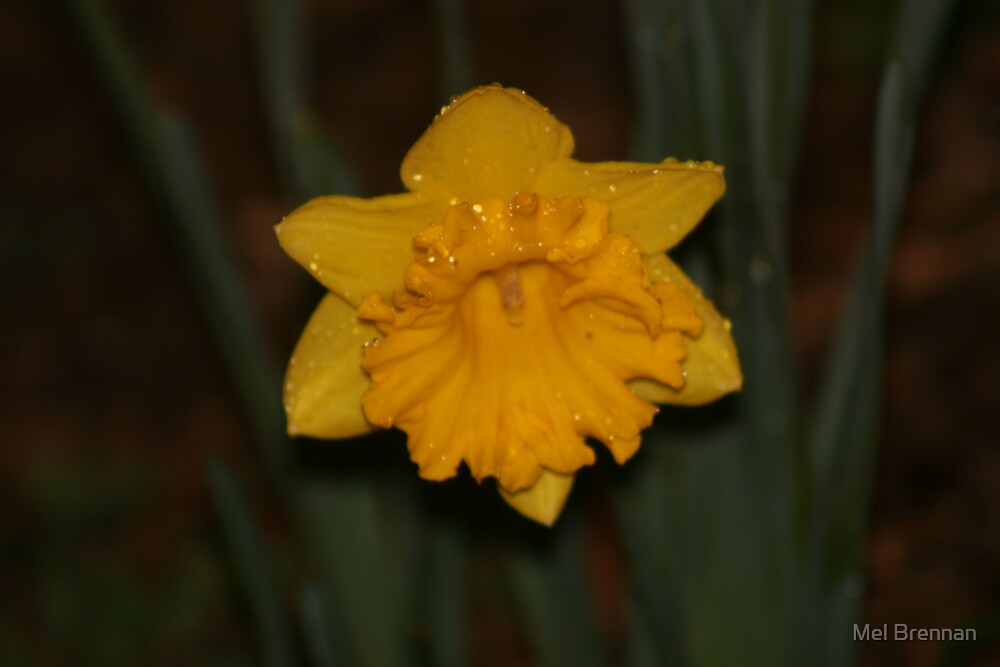 Wet Daffodil by Mel Brennan