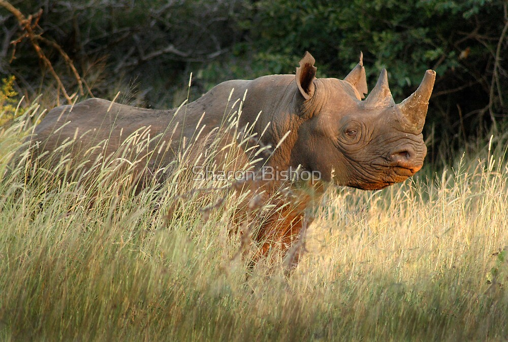 Black Rhino by Sharon Bishop