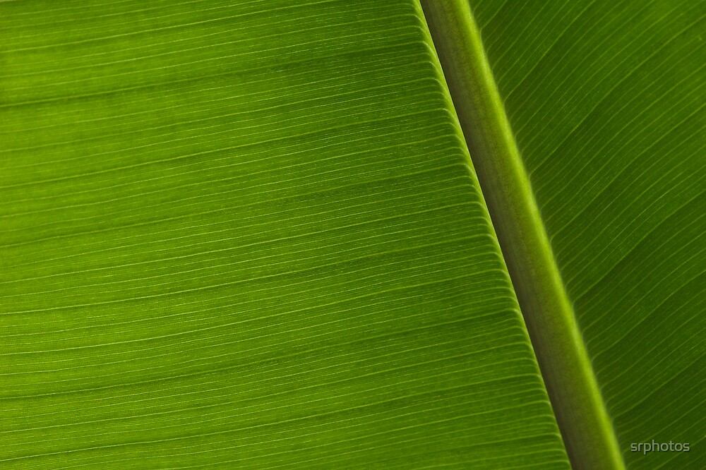green palm leaf - 2 by srphotos