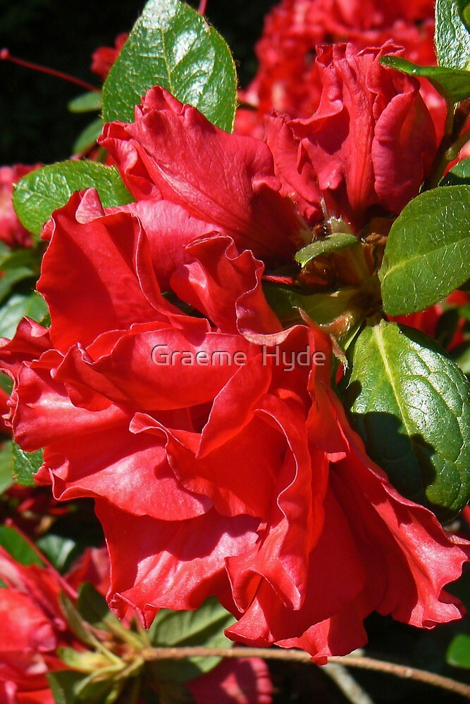 Rich Red Azalea by Graeme  Hyde