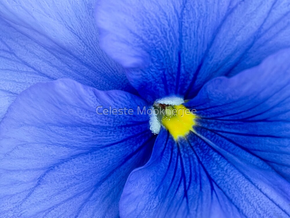Blue pansy by Celeste Mookherjee