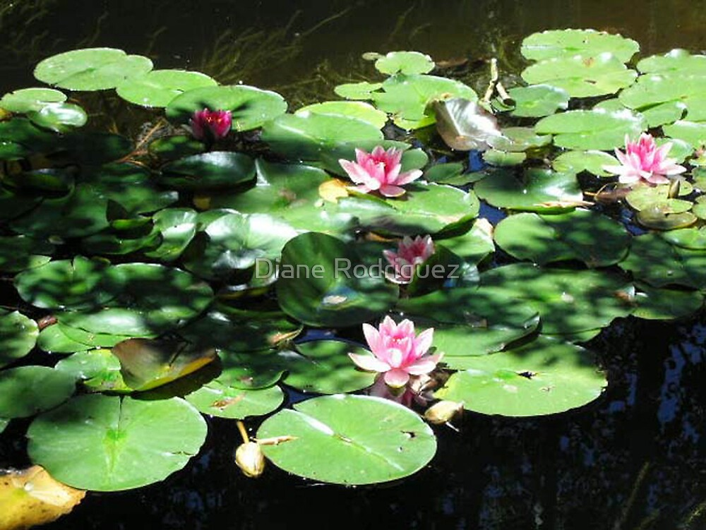 Water Lilies, Light and Shadow by Diane Rodriguez