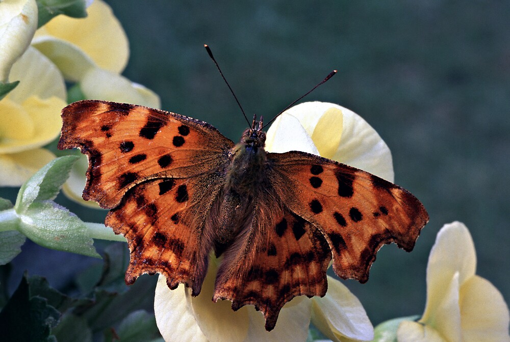 Comma Butterfly by kitlew