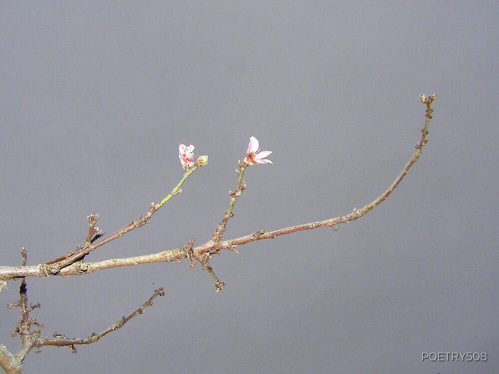 Peach Blossoms On Gray Day by POETRY508