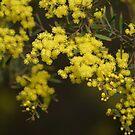 Wattle Flowers by Maryanne Lawrence